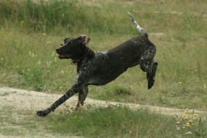 Hund unter extremer Belastung