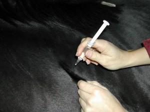 Impfung Pferd